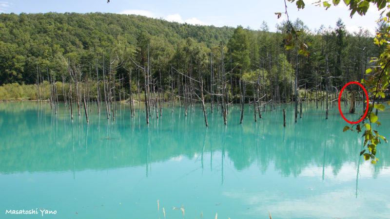 復旧した青い池、木が折れた場所