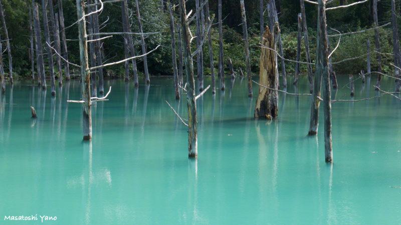 青い池の折れた木