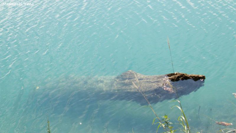 復旧した青い池に沈んでいる倒木