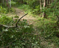 台風で倒された美瑛町不動の滝の木
