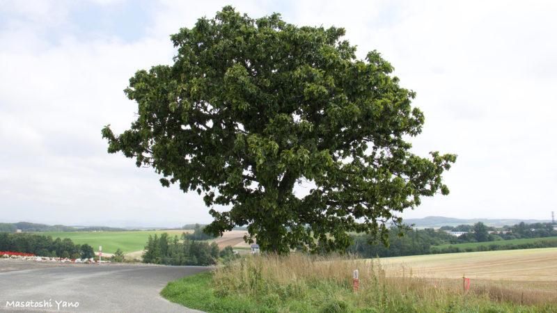 台風後のセブンスターの木