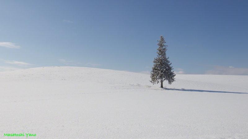 真冬のクリスマスツリーの木
