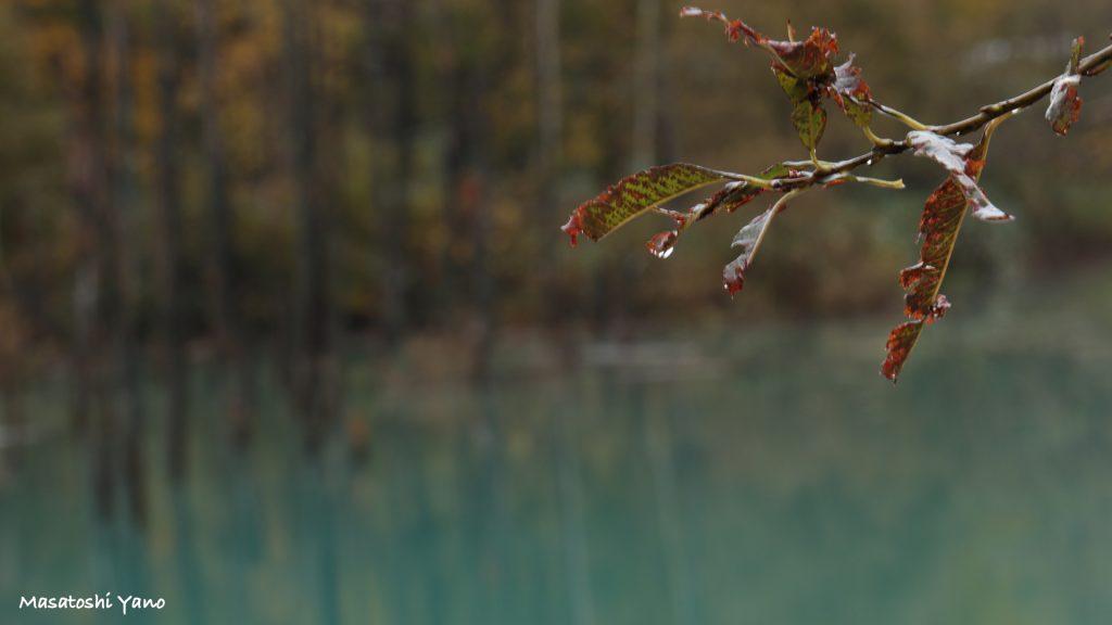 初雪直前の青い池を直撃してきた