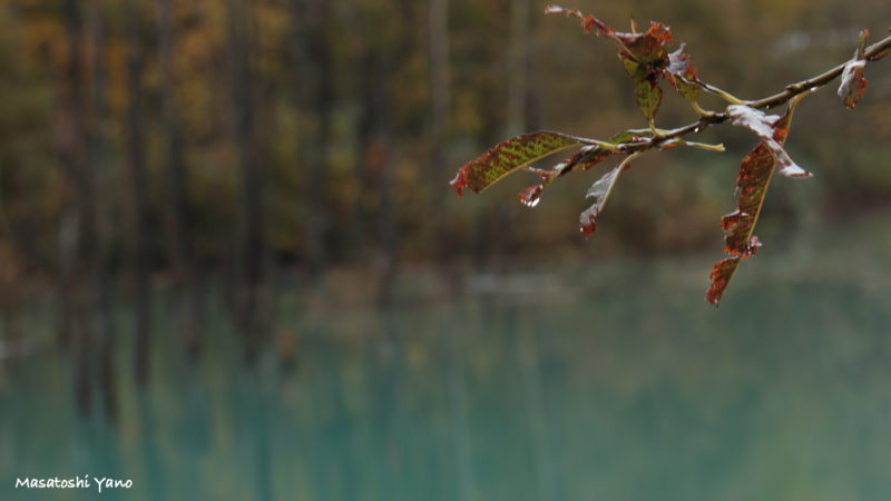 青い池の紅葉