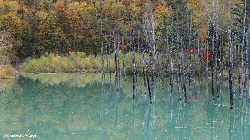 2015年の青い池と紅葉