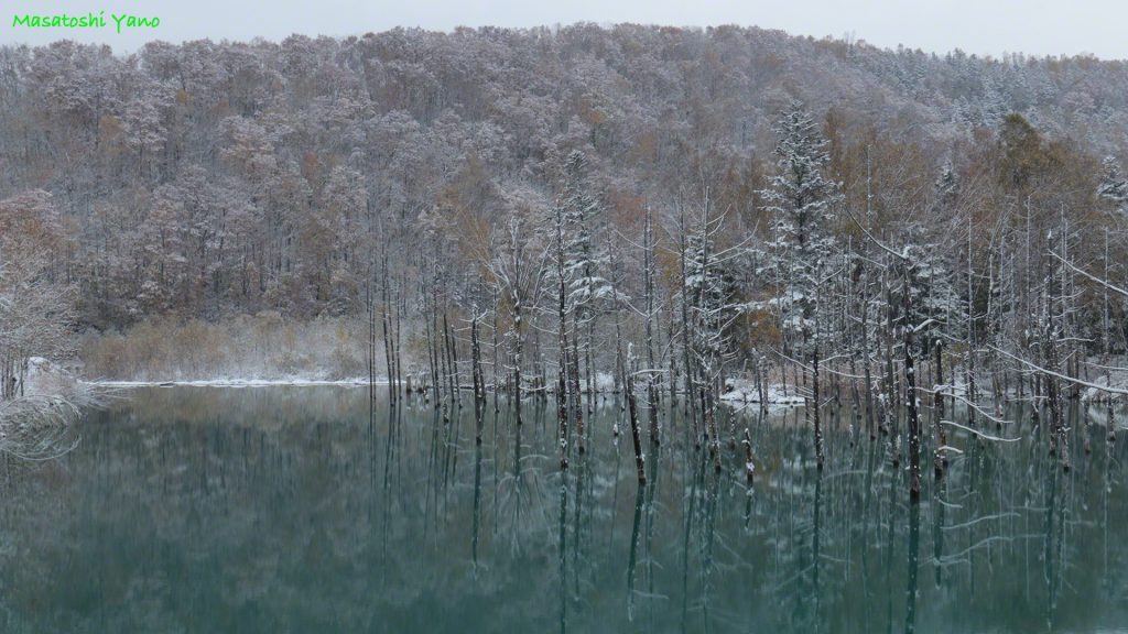 青い池の初雪…その景色はきびしい冬のおとずれを知らせるようだった