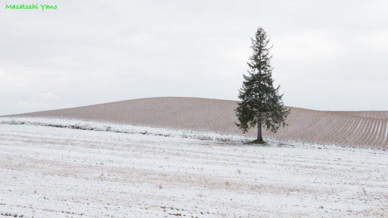 初雪のクリスマスツリーの木