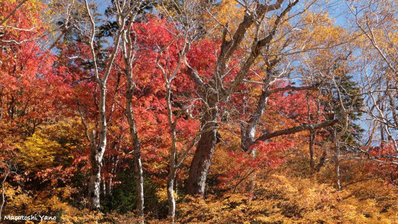 高原沼コースの紅葉