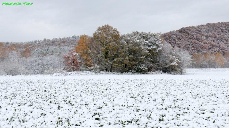 白金の初雪