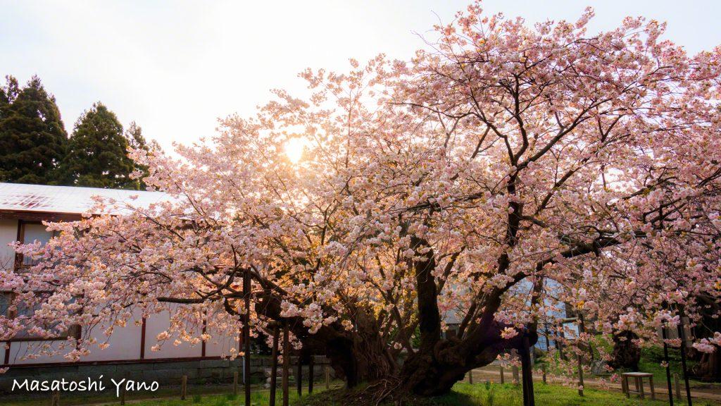 松前の桜の作品イメージを考えてみた