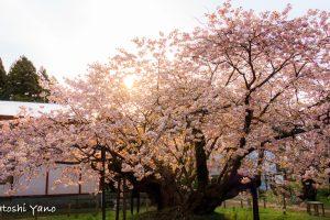 早朝のの血脈桜