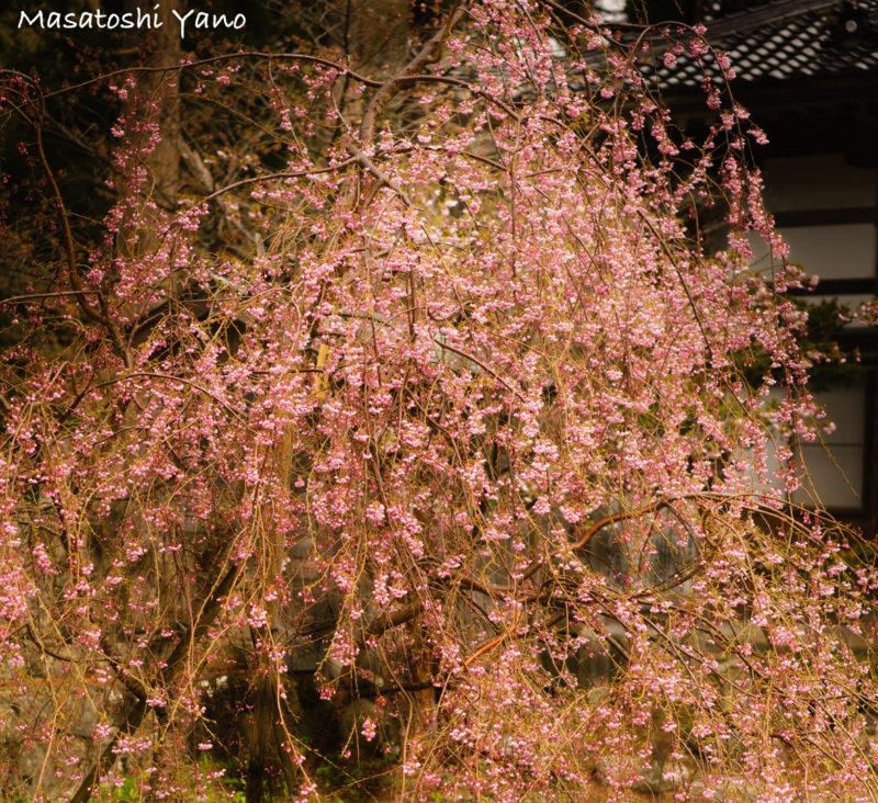 松前の七分咲きの枝垂れ桜