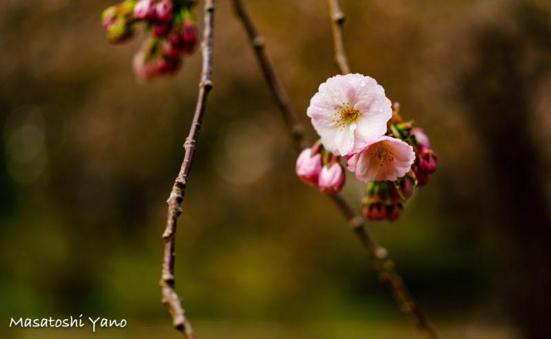 朝露と血脈桜