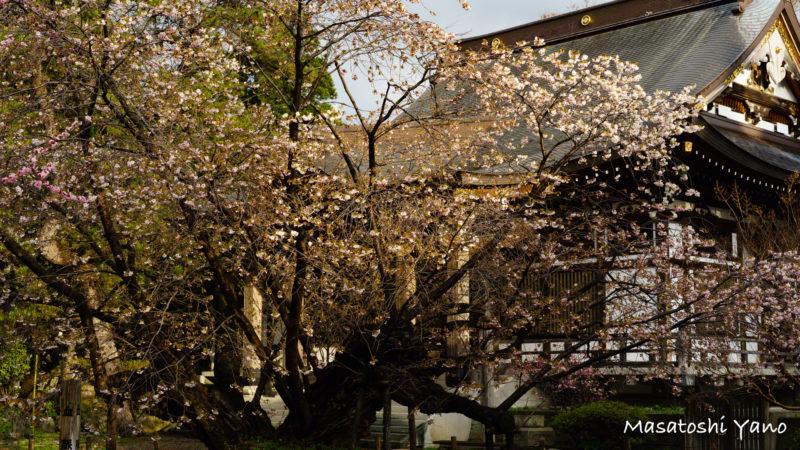 七分咲きの血脈桜