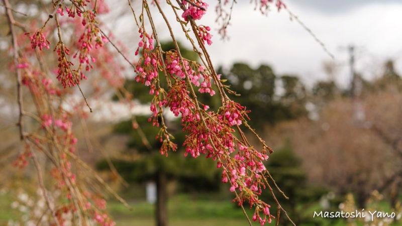 七分咲きの枝垂れ桜