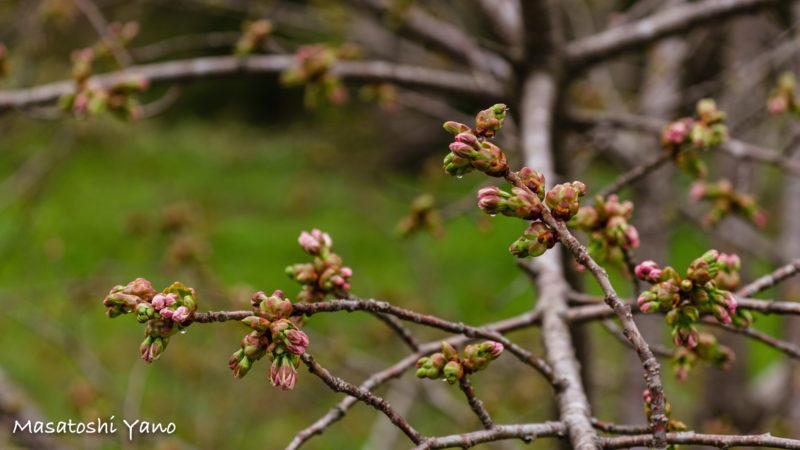 まだ蕾の松前の桜