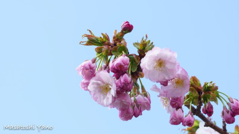 咲き始めた松前の桜