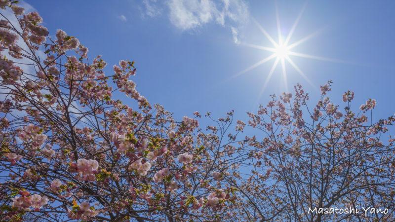 太陽の光を浴びて咲き始める血脈桜