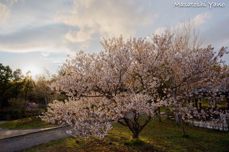 夕日を浴びている松前の桜