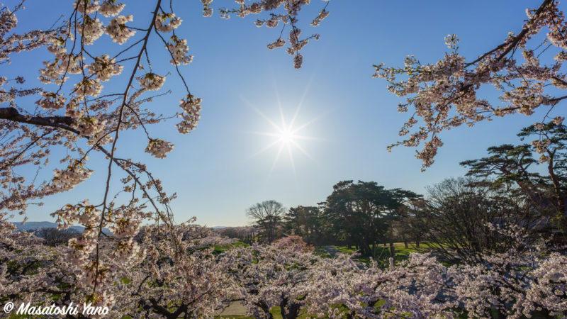 五稜郭公園にて太陽と桜をフレームに見立てた写真
