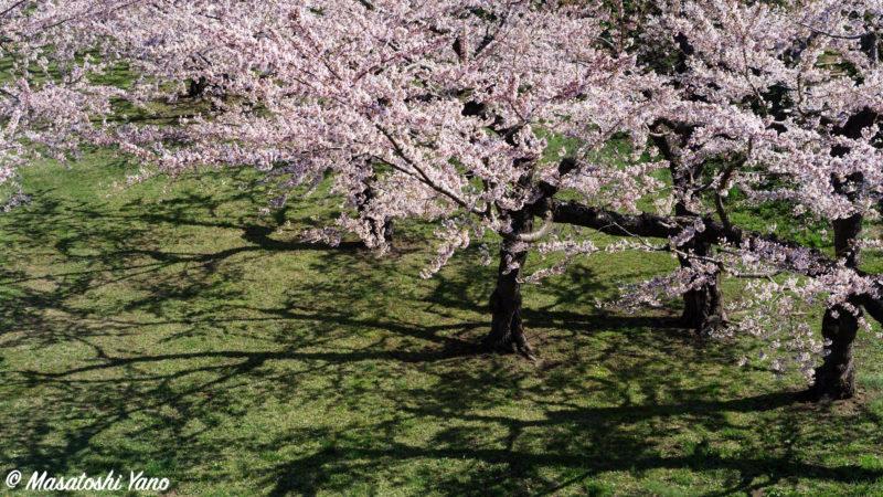 桜並木と影