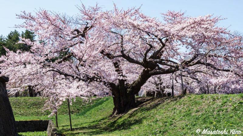 五稜郭公園 満開の桜