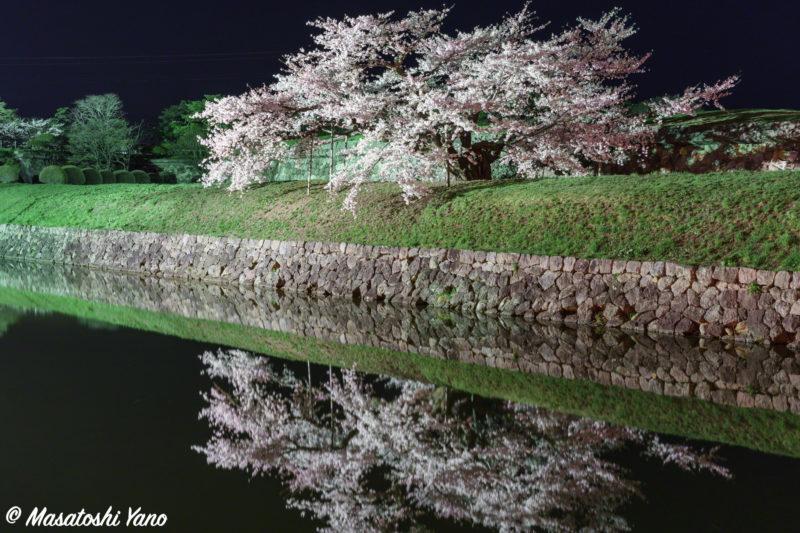 ライトアップされた五稜郭公園の桜