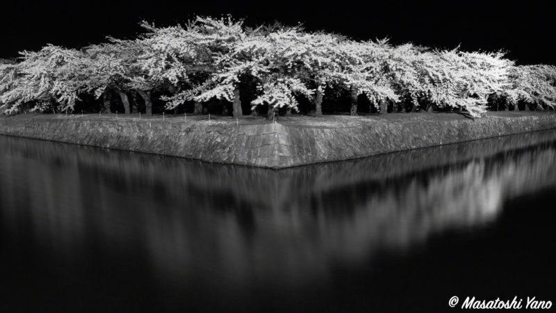 五稜郭公園にて揺れる桜