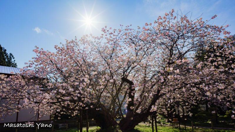 太陽と満開の血脈桜
