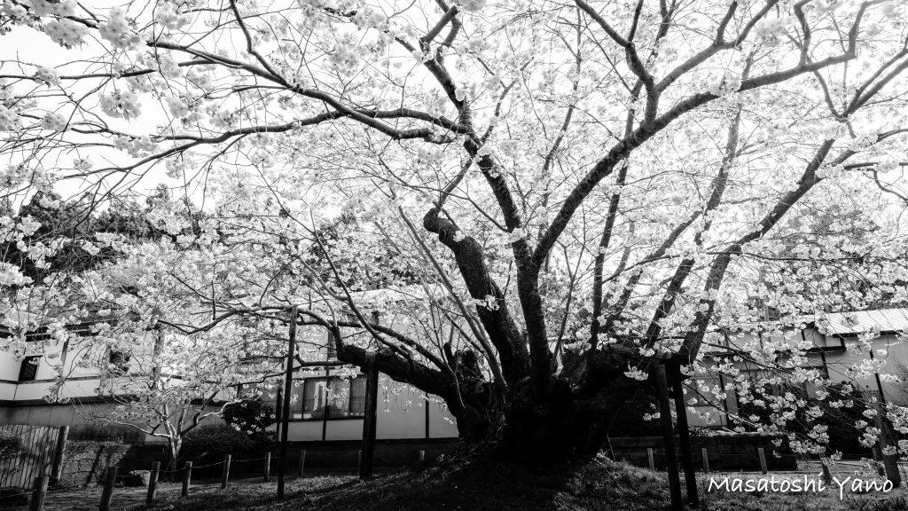 一年間、思い描いていた血脈桜。ようやく撮ることができた!!
