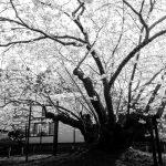 血脈桜のモノクロ写真