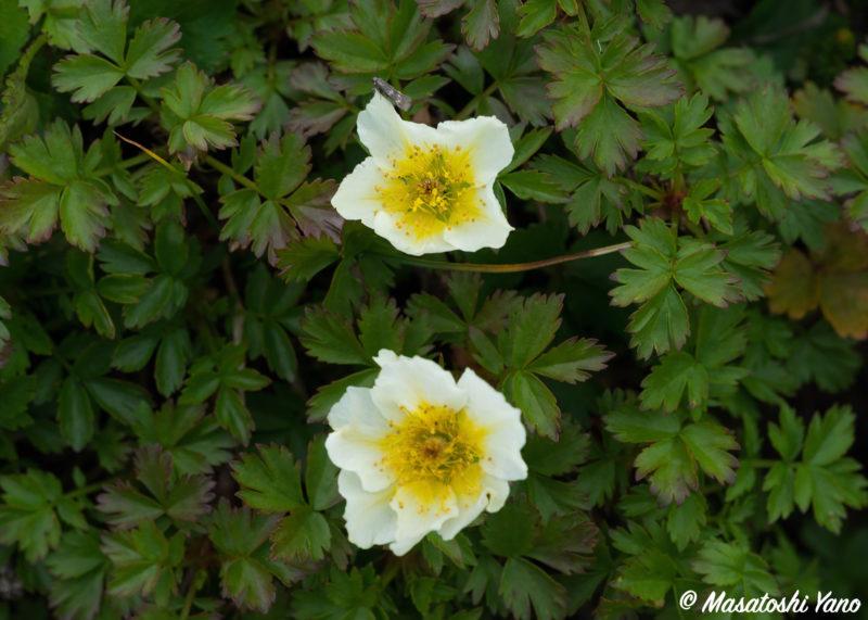 狂い咲きのチングルマ