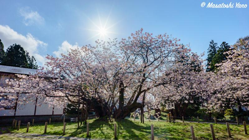 血脈桜と太陽