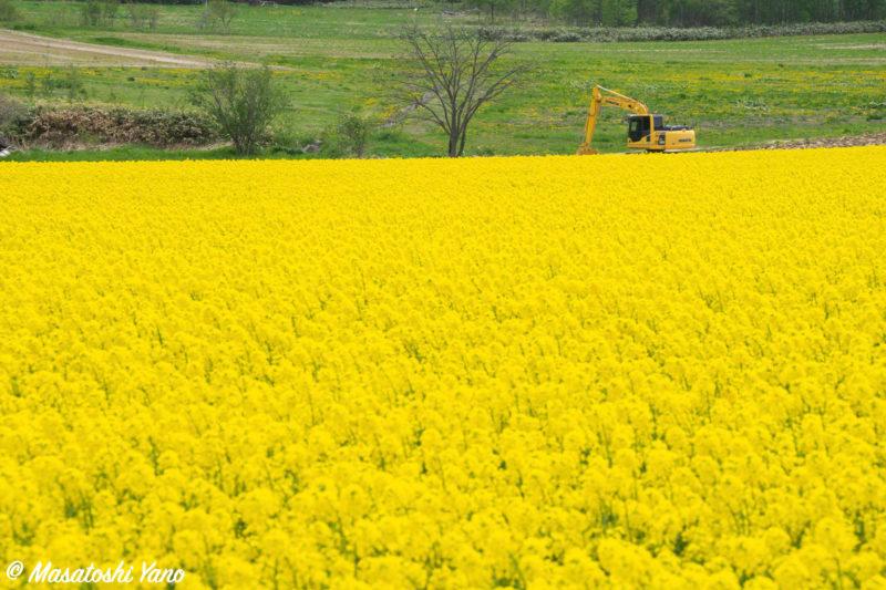 菜の花まつり会場周辺の菜の花畑