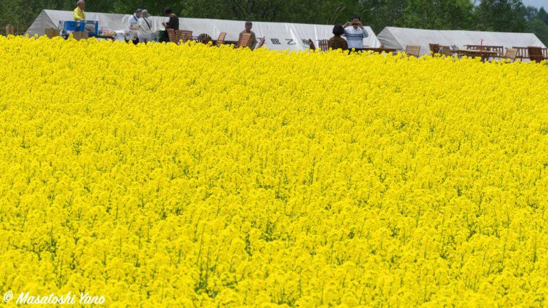 滝川市の菜の花まつり