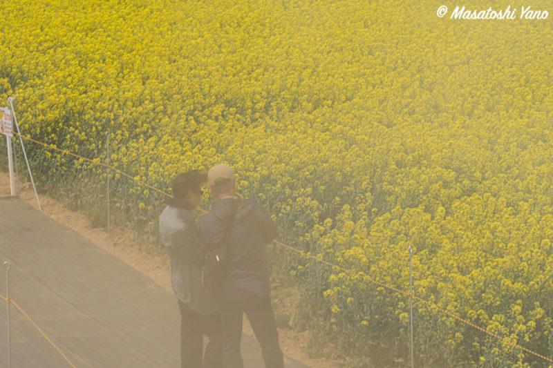 菜の花まつり−砂嵐