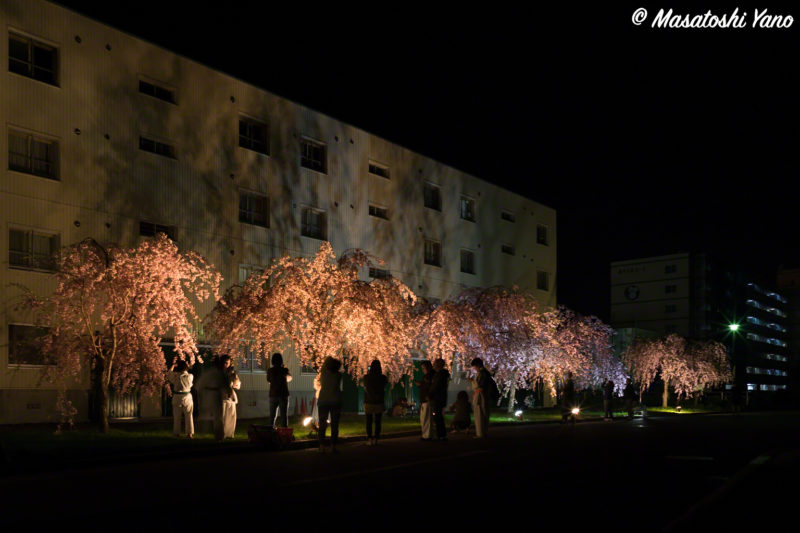 旭川のしだれ桜のライトアップ