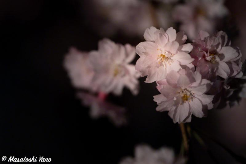 旭川の市営住宅にあるしだれ桜のライトアップ