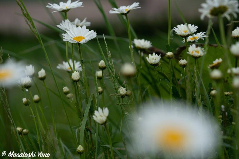 新栄の丘に咲いていたコスモス