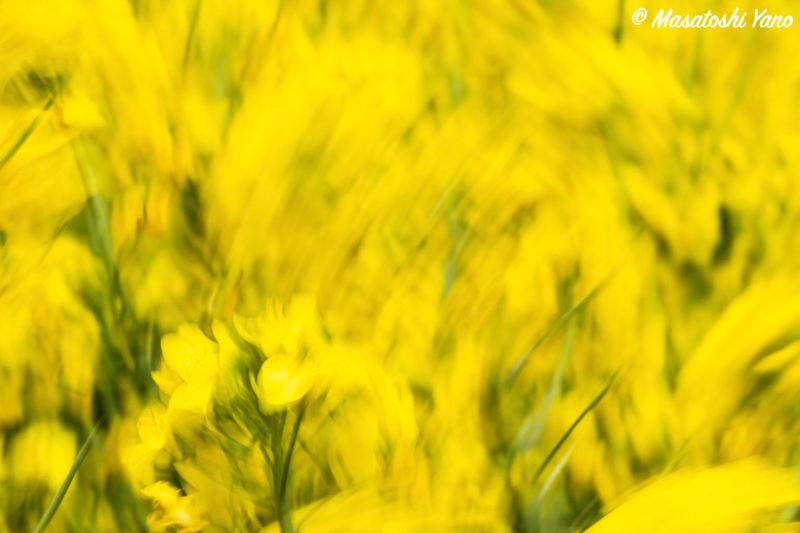 滝川市の菜の花