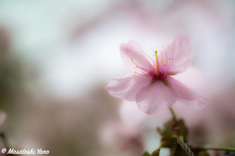 北海道護国神社の桜
