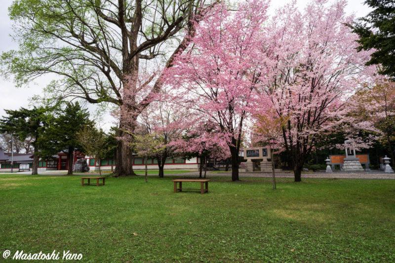 北海道護国神社の桜とベンチ