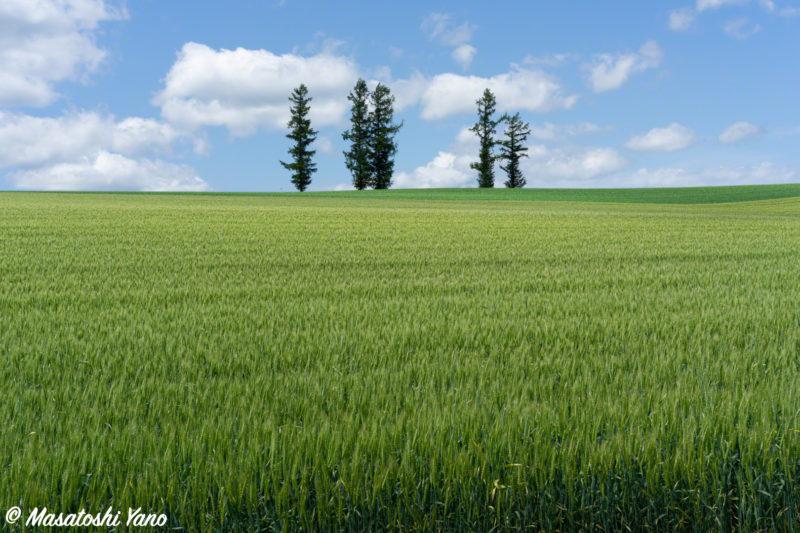 マイルドセブンの丘 並木