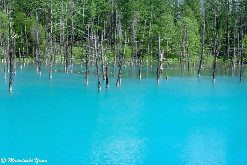 コロナウィルス感染拡大防止による閉鎖解除後の青い池